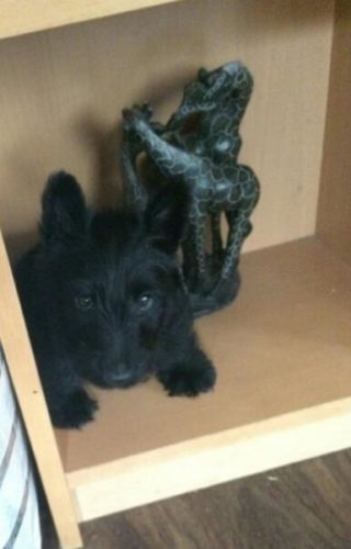 A Scottie in a cabinet!