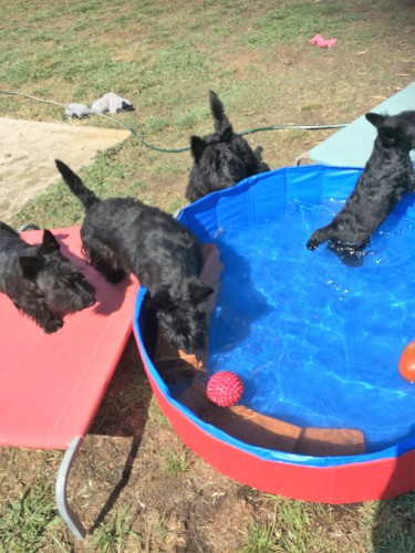 The scotties enjoying their pool